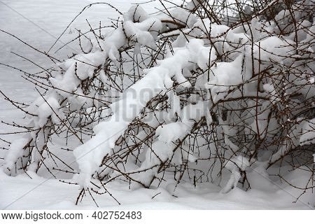 The Inclined Branches Of An Old Bush Of A Forsythia Under Fluffy Snow After Snowfall.