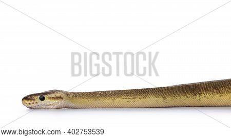 Adult Pinstripe Cinnamon Pastel Fire Ballpython Aka Python Regius Snake. Head Shot On White Backgrou