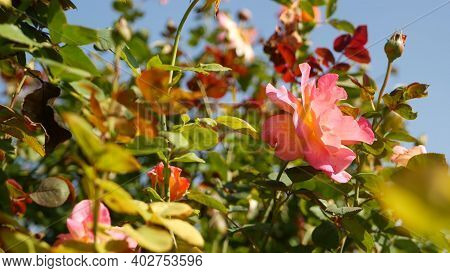 English Roses Garden. Rosarium Floral Background. Tender Flowers Blooming, Honey Bee Collects Pollen