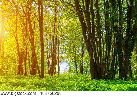 Spring forest landscape in sunny spring weather - spring forest trees lit by soft sunlight. Spring forest nature in sunny spring day, spring forest nature, colorful spring forest scene