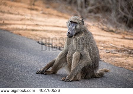 Adult male chacma or cape baboon, Papio ursinus, sits on the side of a road in Kruger National Park, South Africa.