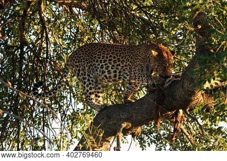 Big Male Leopard (panthera Pardus) In A Tree With Prey. Typical Behavior Of A Leopard With Prey.