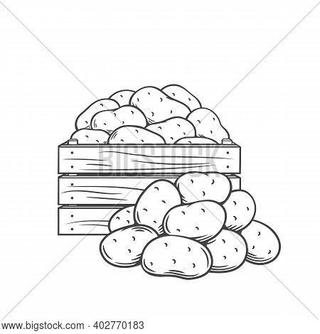 Potato Tubers Monochrome Outline Vector Illustration In Retro Style For Store Ad. Hand Drawn Farm Po