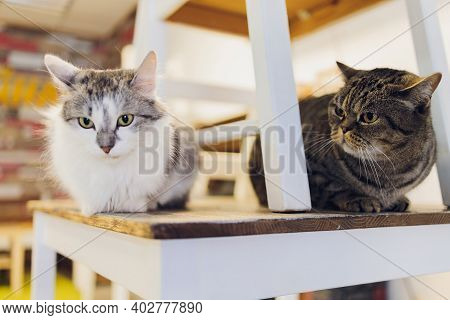 Two Cats Friends Maine Coon And Calico Breeds Sitting Below And Above On Top Of Chair Looking Throug