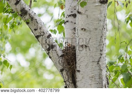 Song Thrush Nestlings In The Nest On A Tree Among The Branches.