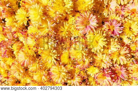 Daisy flowers. Bright floral background with yellow daisies