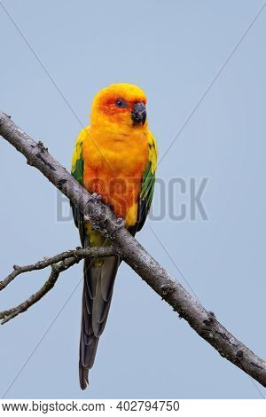 Sun conure, Aratinga solstitialis, perched on a branch against blue sky background. This vibrant parakeet is native to northeastern South America.