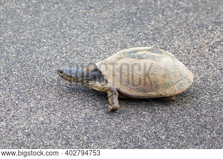 Pan hinged terrapin, Pelusios subniger, walks slowly across a road in Kruger National Park, South Africa.