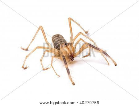 Camel spider also known as windscorpion or Solifugae.
