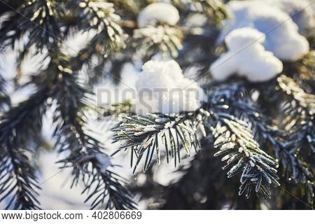 Iced Fir Needles. A Fir Tree Branch Covered With Snow. Close-up, Macro.