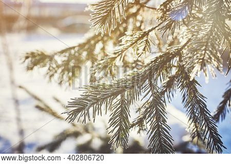 Iced Fir Needles. A Fir Tree Branch Covered With Snow. Winter Sunny Day. Close-up, Macro.