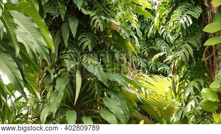 Juicy Exotic Tropical Monstera Leaves Texture Backdrop, Copyspace. Lush Foliage, Greenery In Paradis