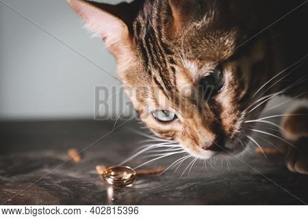 Portrait Of A Adorable Bengal Cat Sitting On A Sofa With Brides Wedding Shoes And Wedding Rings. Dom