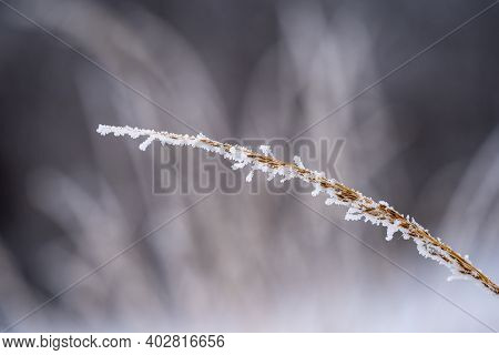 Blade Of Reed Grass Covered In Rime Ice In Winter, With Selective Focus With Narrow Depth Of Field