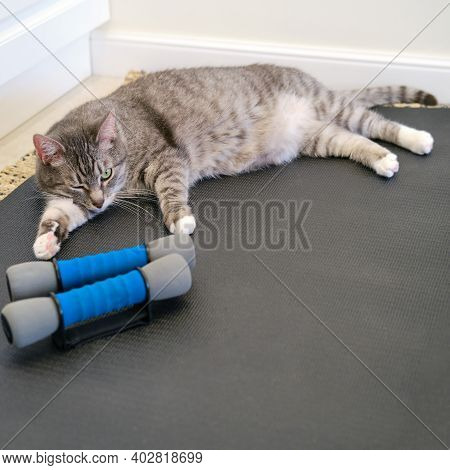 A Gray Cat Winks On A Yoga Mat Next To A Pair Of Athletic Dumbbells. Concept Of Fitness Training And