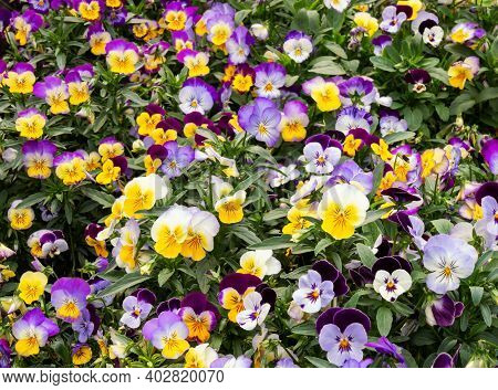Colorful Mixed Pansies On Flowerbed In Garden. Selective Focus.