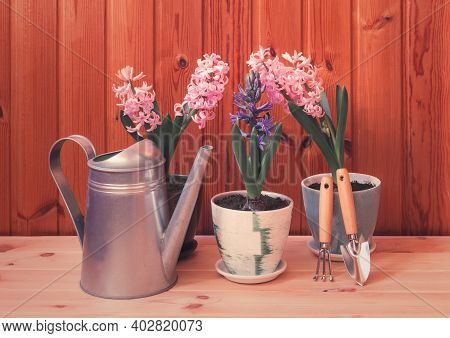 Spring Gardening Concept: Multicolored Hyacinths And Gardening Equipment On Wooden Background