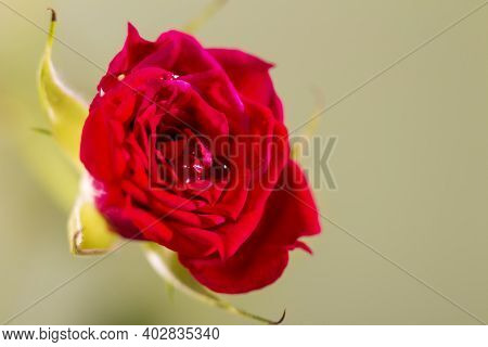 Tea Rose, Macro Photography. Natural Flower On A Light Background. Decorative Rose With Water Drops.