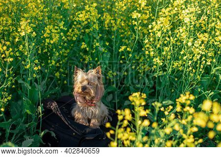 Yorkshire Terrier Sits On A Backpack In Sunny Weather On A Rapeseed Field. Pedigree Dog.