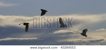 Burrowing Owl (Speotyto cunicularia) Silhouetted In Flight Against Cloudy Sky