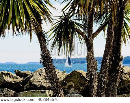 Sailboat Cruises Along The Shoreline With Palm Trees In The Foreground. Coast Of Sidney Bc