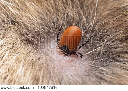 A Dangerous Carrier Of Infections, A Tick Dug Into The Skin Of A Cat.