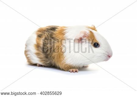 Guinea Pig Isolated On A White Background. Domestic Guinea Pig.