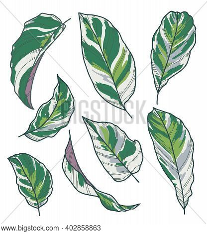 Vector Leaf Drawings Of Exotic Houseplant With Botanic Name Calathea Fusion White