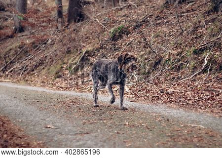 Shot Of A Bohemian Wire-haired Pointing Griffon Walking On An Asphalt Road With A Satisfied Expressi