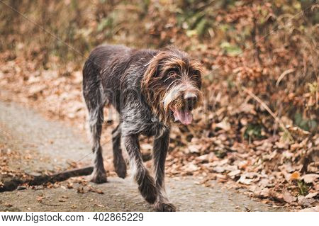 Versatile Gun Dog Walks On A Gravel Road And Goes Towards His Master. Bohemian Wire-haired Pointing