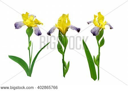 Yellow And Dark Purple Striped Iris Flowers And Leaves Set Isolated On White