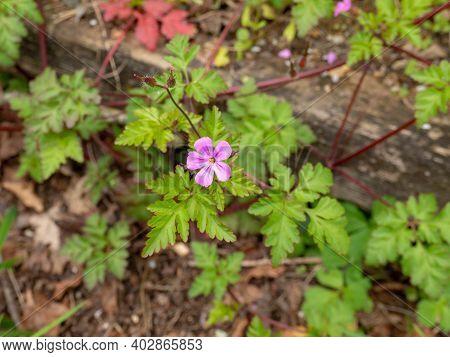 Geranium Robertianum Or Roberts Geranium Pink Flower And Leaves