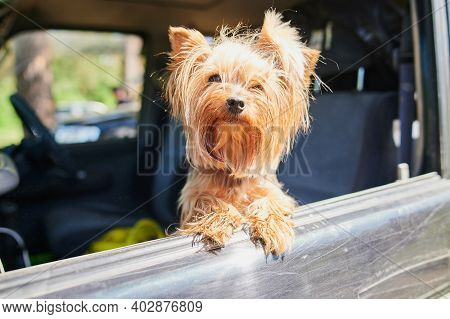 A Happy Yorkshire Terrier Dog His Head Out A Moving And Driving Car Window.