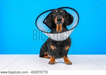 Dachshund Dog Wearing In Rehabilitation Standing On A Blue Background At Home Or Hospital Room After