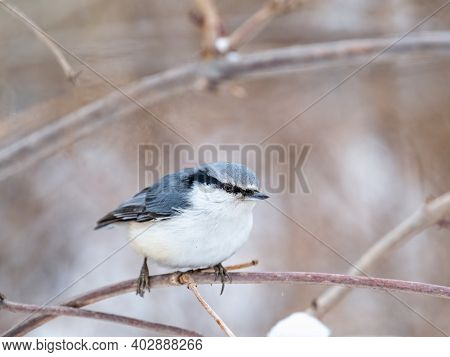 Eurasian Nuthatch Or Wood Nuthatch, Lat. Sitta Europaea, Sitting On A Tree Branch With A Blurred Bac