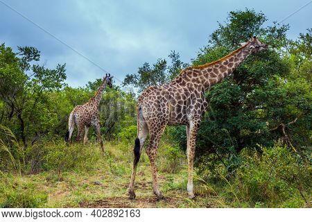 Gorgeous giraffes. Huge long-necked animals graze in the green bushes of the African savannah. Exotic journey to the South Africa. The Kruger Park. The concept of exotic and photo tourism