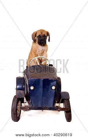 Puppy In Vintage Car