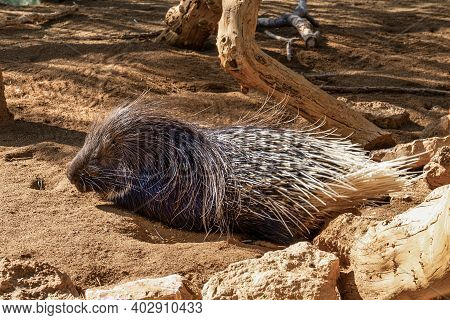 Hystrix Indica, Indian Crested Porcupine In Tabernas Desert, Andalusia, Spain In Europe