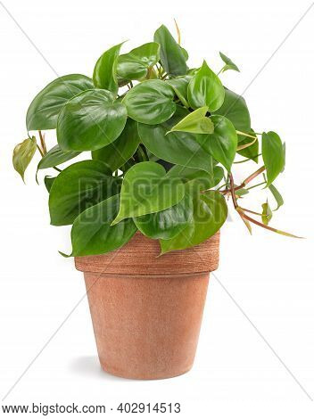 Heart Leaf Philodendron  Isolated On White Background