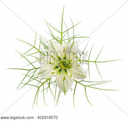 Love In A Mist Flower Isolated On White