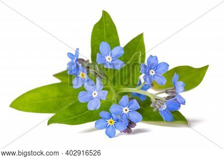 Forget Me Not (myosotis) Flowers On White Background