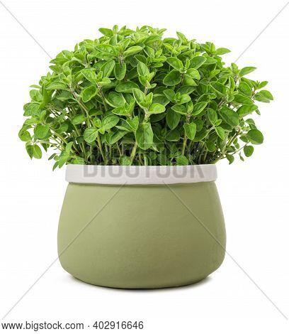 Oregano Plants In Vase Isolated On White Background