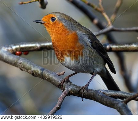 The European Robin (erithacus Rubecula), Known Simply As The Robin Or Robin Redbreast In The British