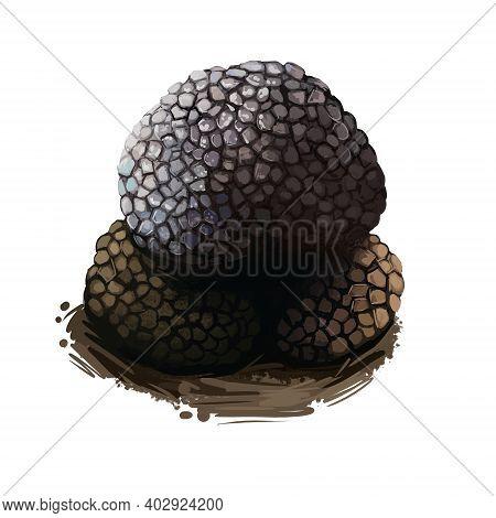 Truffle Fruiting Body Of Subterranean Ascomycete Fungus, Black Truffle Tuber Melanosporum Mushroom C