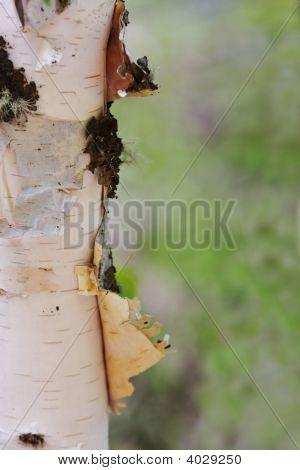 Closeup Of Peeling Aspen Tree Trunk