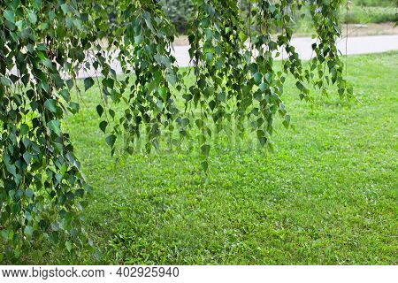 Lawn In The City Of Green Grass And Overhanging Birch Tree Branches