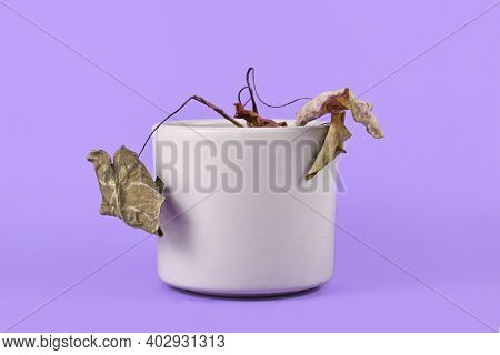 Small Neglected Dying House Plant With Hanging Dry Leaves In Gray Flower Pot On Purple Background