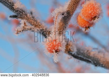 Small Red Frozen Apples Covered With Rime Against The Blue Sky