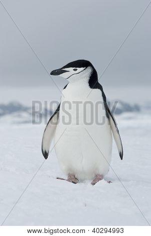 Antarctic penguin (Pygoscelis antarctica) winter overcast day. poster