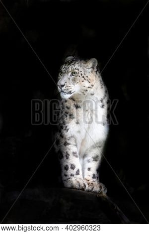 Alert adult snow leopard, panthera uncia, on black background with space for text. This vulnerable big cat is indigenous to the mountains of central and south Asia